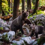 Orsi in Slovenia: come vederli e dove
